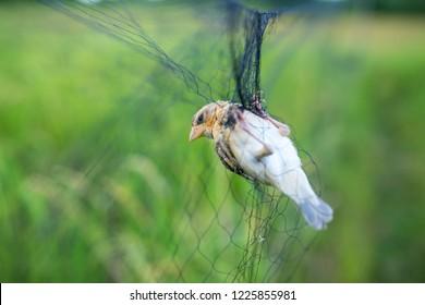 Birds trapped farmers,bird trap background.