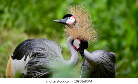 Birds of Uganda - The Grey Crowned Crane