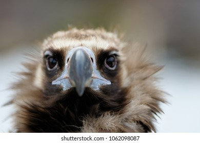 Birds: vulture portrait, close-up shot
