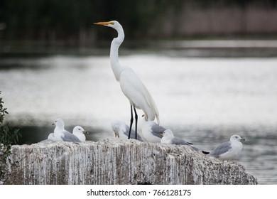 Birds: White Egret with Seagulls