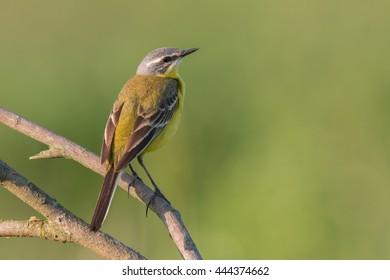 Birds - Yellow Wagtail (Motacilla flava)