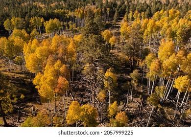 Birdseye view of aspen grove in golden fall colors.