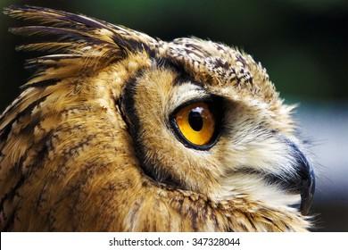 Bird's-Eye View. A close-up photo of a owl.