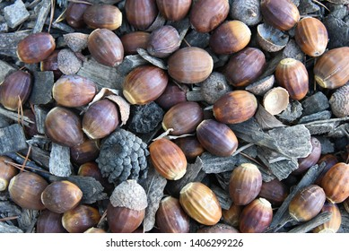 Birdseye view of a group of mature, fallen acorns on the forest floor amidst twigs, bark & pine cones. An isolated closeup of oak nuts in a range of brown-toned colors, from light to dark & chestnut.