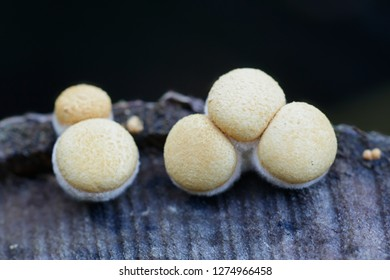 Bird's-nest fungus or bird nest fungus, Crucibulum laeve