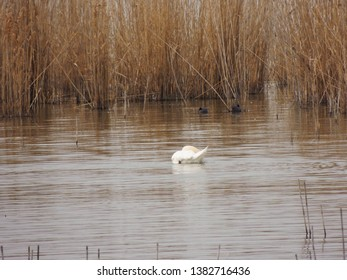 Birdwatching activity: A swan eating in a lake.