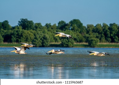 Birdwatching in the Danube Delta. Pelicans flying over Fortuna Lake near Mila 23 village