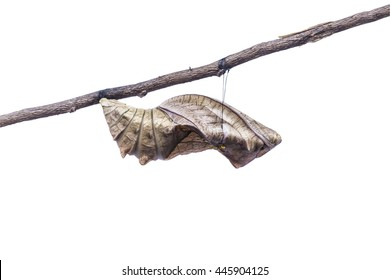 Birdwing butterfly inside pupa on white background together with clipping path.