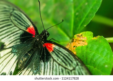 Birdwing red, black, and white butterfly