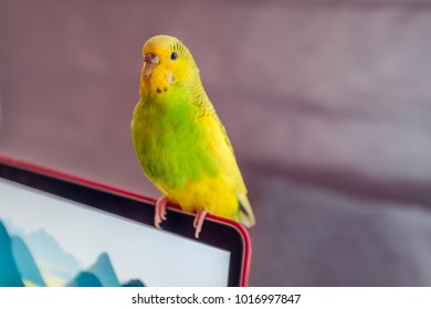 birghtly coloured green and yellow budgie parakeet bird sitting on a laptop screen illuminated from the side