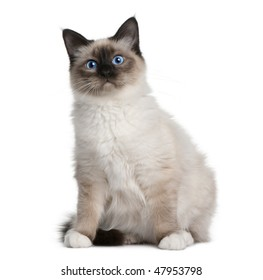 Birman (6 months old) in front of a white background