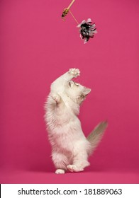 Birman cat playing, pawing up at a stick toy, on pink background