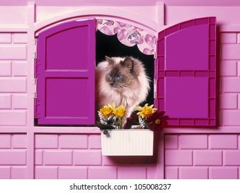 Birman cat plays inside a childs pink house