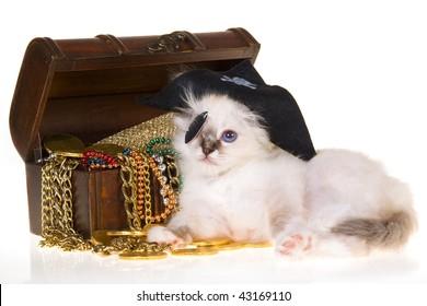 Birman kitten in pirate costume with treasure chest, on white background