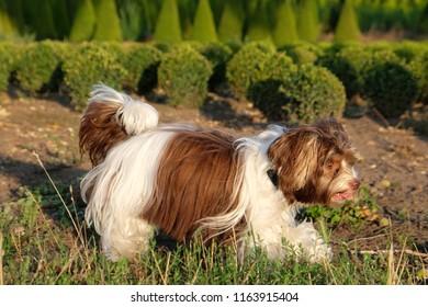 Biro Yorkshire Terrier on a dog walk in the sun