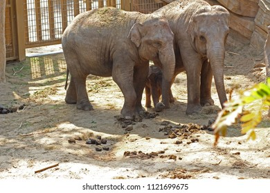 The birth of an elephant calf in the zoo