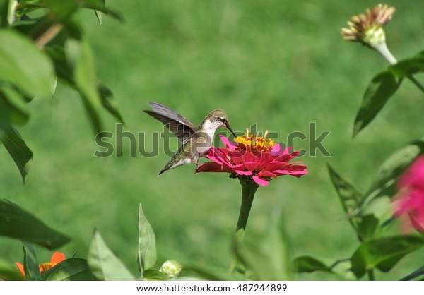 Tremendous Birthday Cake Hummingbird Stock Photo Edit Now 487244899 Funny Birthday Cards Online Necthendildamsfinfo
