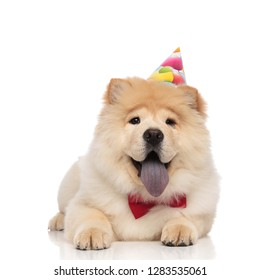 birthday chow chow wearing red bowtie resting on white background and panting with mouth open and blue tongue exposed