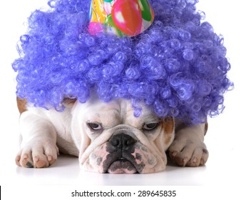 birthday dog - bulldog humanized as female with wig and hat on white background