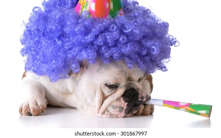 birthday dog - bulldog humanized as female with wig and hat blowing on horn