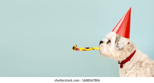 Birthday dog celebrating with party hat and blow-out