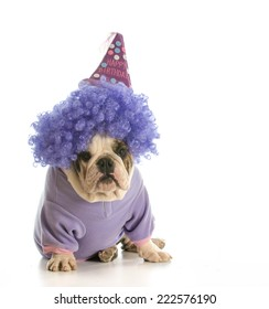 birthday dog - english bulldog wearing birthday hat and wig isolated on white