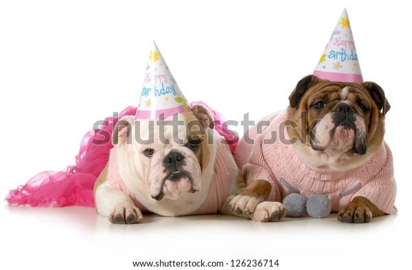 Birthday Dog English Bulldogs Wearing Party Stock Photo Edit Now