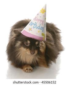 birthday dog - pomeranian rubbing side of head wearing happy birthday hat