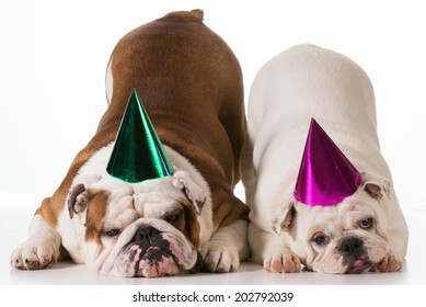 birthday dog - two english bulldogs wearing birthday hats on white background