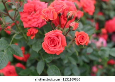 Closeup Red Rose Flowers On Summer Stock Photo Edit Now 694099741