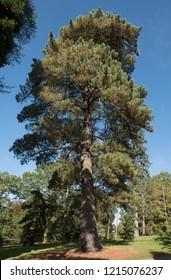 Bishop Pine Tree (Pinus muricata) in a Woodland Landscape in Rural West Sussex, England, UK