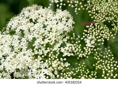 Bishop's weed, ground elder