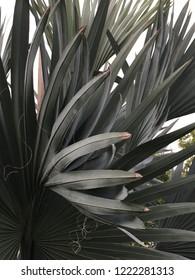 Bismarck palm Bismarckia nobilis