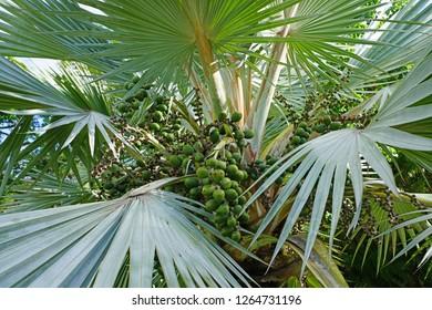 A Bismarck Palm (Bismarckia Nobilis) with grey green leaves