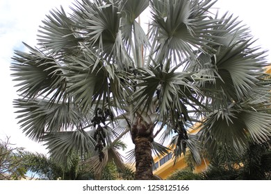 Bismarck palm (Bismarckia nobilis) with ripening fruits