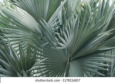 Bismarck palm leaves texture