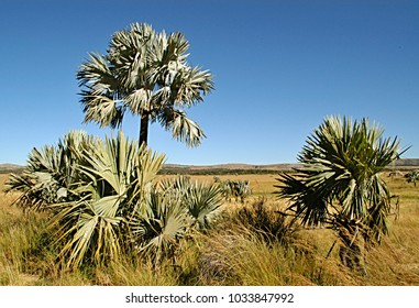 The Bismarck palm Madagascar