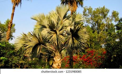 Bismarck palm tree in a zoo garden