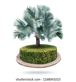Bismarck palm trees, isolated on a white background and garden plants. Bismarck palm trees.