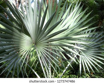 Bismarck Palms,(Bismarckia nobilis). The palmate leaves become more silvery as the plant grows. It is of the monotypic genus in the palm family. Here the sunlight filters through the trees overhead.