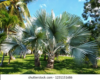 Bismarckia nobilisor Bismarck palm is amonotypicgenusofflowering plantin thepalmfamily endemic to western and northernMadagascarwhere they grow in open grassland.