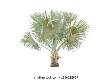 Bismark palm tree on white background