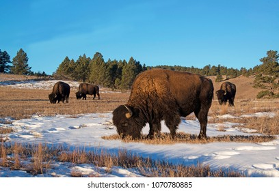 Bison, aka Buffalo, herd grazing in early morning light