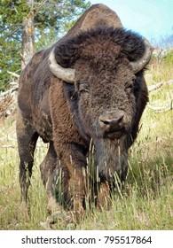 Bison (aka a buffalo) - Yellowstone National Park