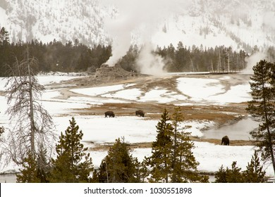 Bison or American buffalo grazing between steaming geysers in Upper Geyser Basin in Yellowstone National Park, Wyoming in winter.