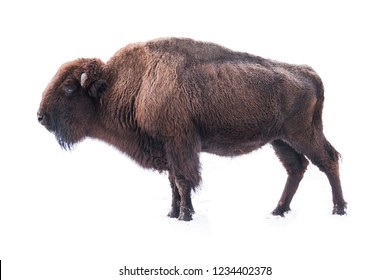 bison american isolated on a white background