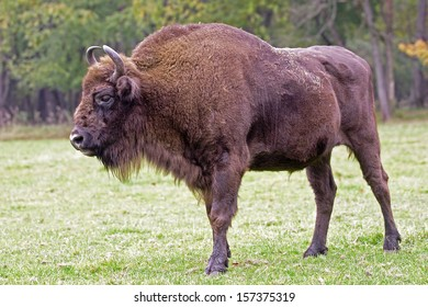 Bison - animals that live in nature reserves in Europe are under the protection of