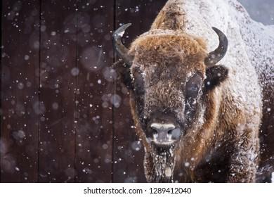 Bison or Aurochs in winter season in there habitat. Beautiful snowing