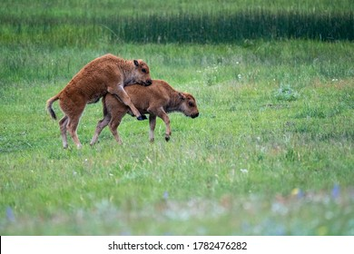 Bison baby calves playing and jumping in a meadow in Yellowstone National Park
