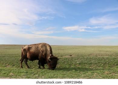 Bison of the Badlands, SD